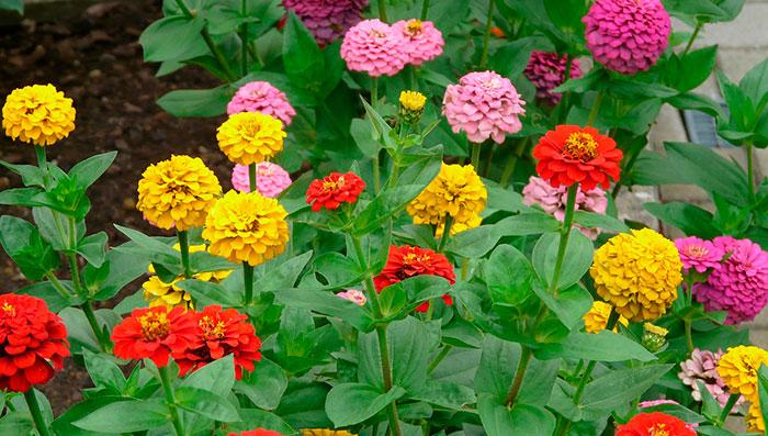 Plantas de Zinnia hybrida
