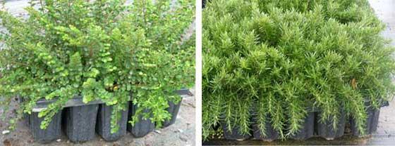 Plantas más grandes en bandejas forestales