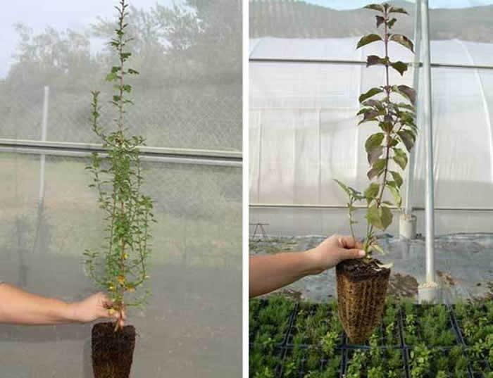 plantas en bandejas forestales