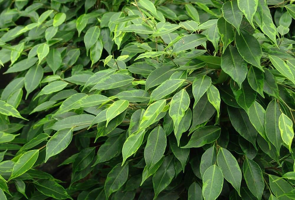 Plantas ficus benjamina 10