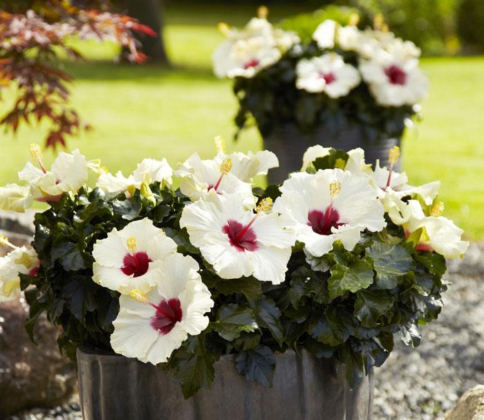 Plantas hibisqs