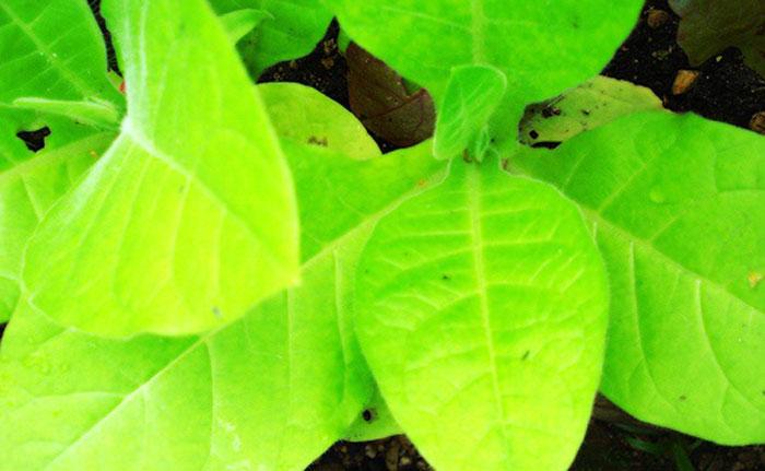 Biotecnología para crear plantas luminiscentes