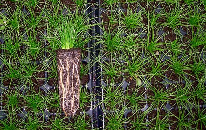 Plantas macrófitas en cultivo