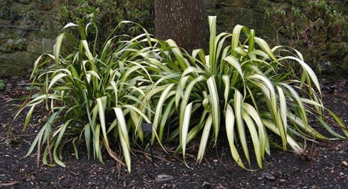 plantas phormium tenax