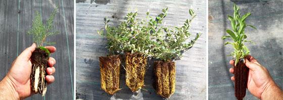 Plantas cultivadas con sistema de autorepicado aéreo