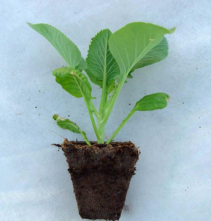 plantel de coliflores