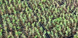 Planteles de eucaliptus