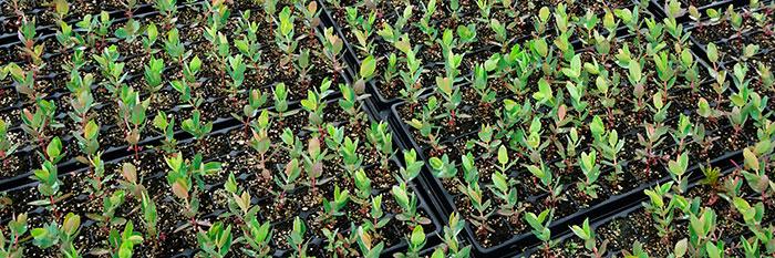 Planteles de Eucalyptus
