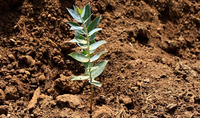 Plantón del Eucalyptus
