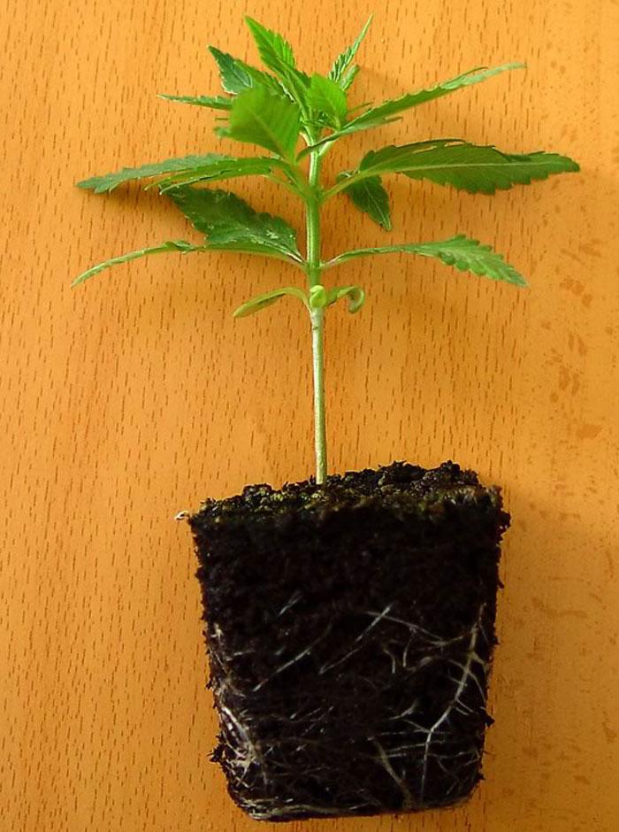 Plántula de Marihuana lista para su transplante