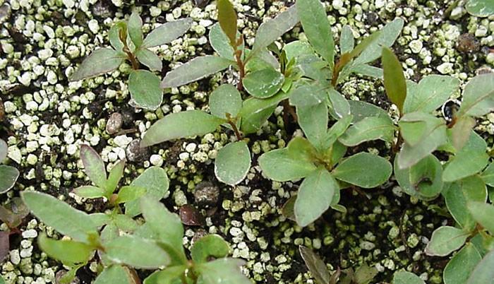 Plántulas de Pistacea lentiscus