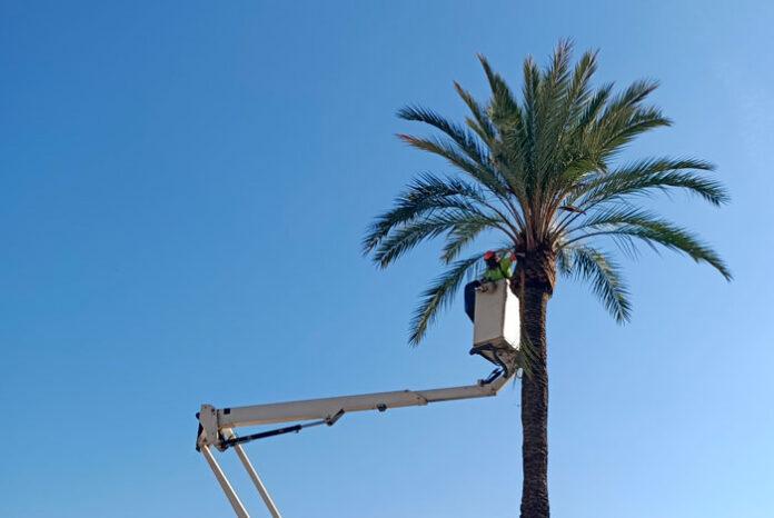 Poda de palmera datilífera