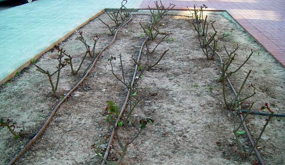 Rosales podados de tipo arbustivo