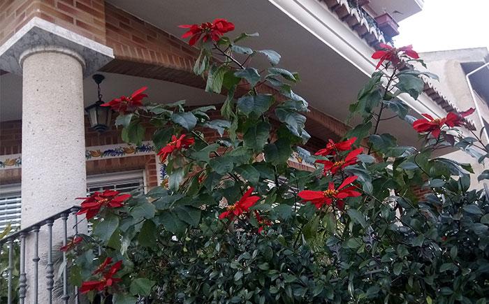 Poinsettia en el jardín