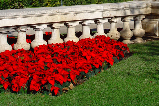 La poinsettia como planta en el jard n for Plantas para el jardin todo el ano