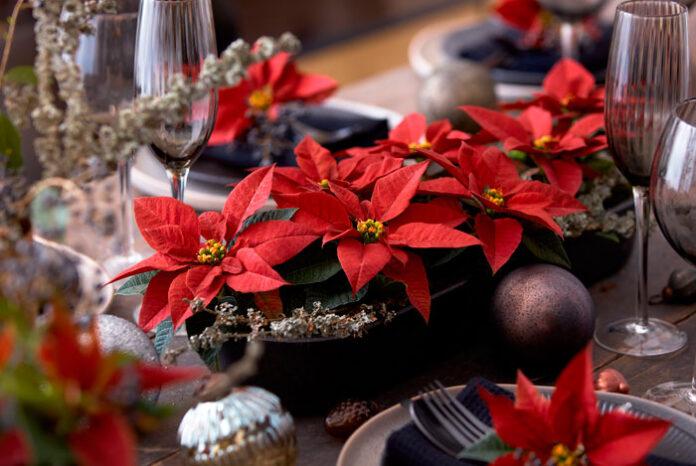 Poinsettias para decorar sobremesas