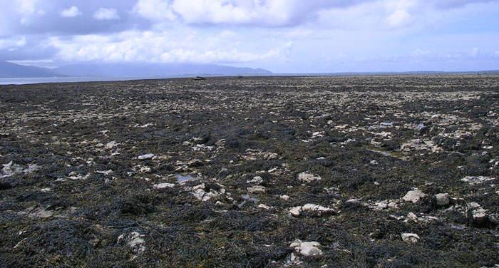 Pradera de Ascophyllum nodosum