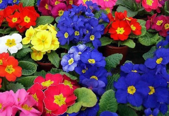 Flores de Primulas acaulis