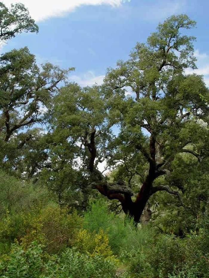 Quercus suber 1