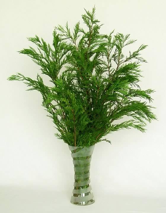 La Thuja, una conífera como verde ornamental