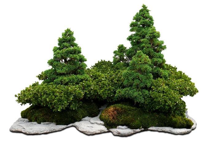 Cómo y cuándo regar un bonsái