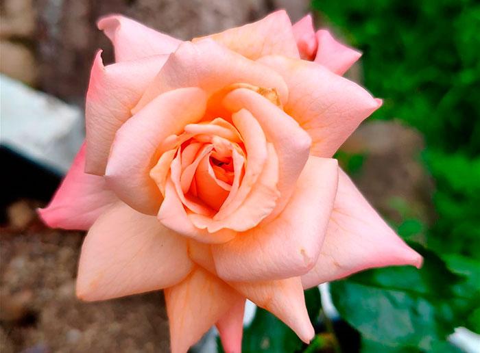 Nueva variedad de rosa Afrodita