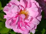 Rosa damascena, familia floral