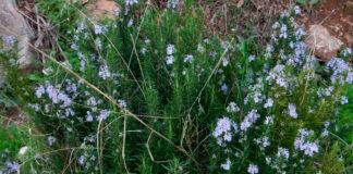 Rosmarinus officinalis de monte