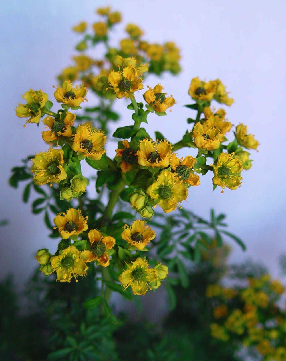 Ruda flor