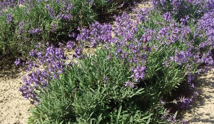 Salvia officinalis en el jardín
