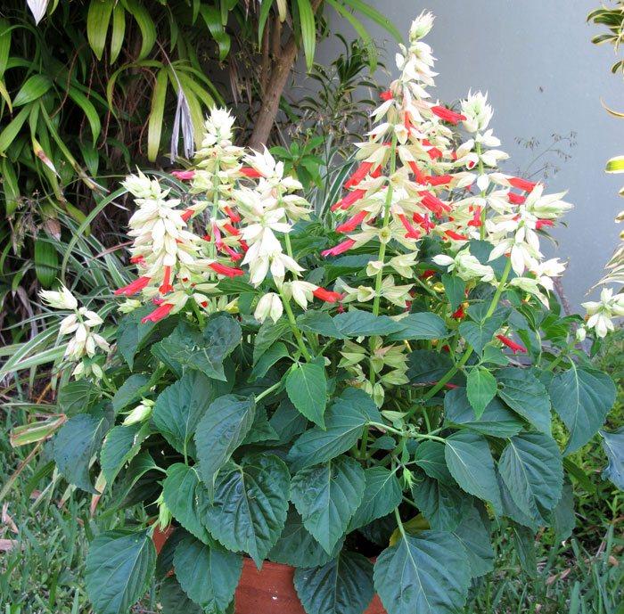 Salvia splendens