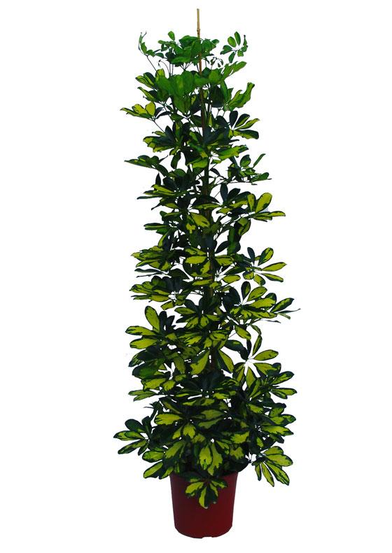 Planta de Schefflera arborícola