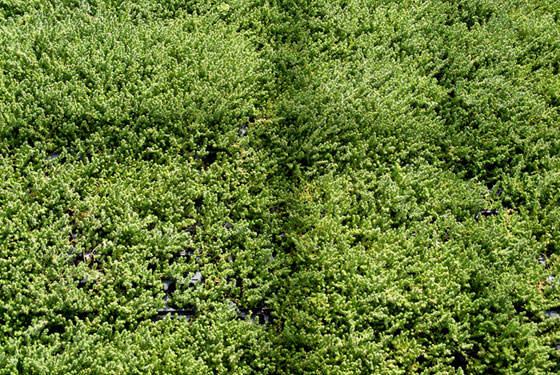 Sedum acre en cultivo