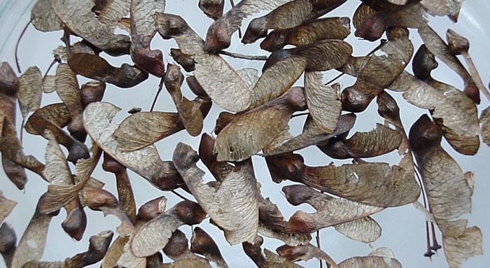 Semilla de Acer monspessulanum