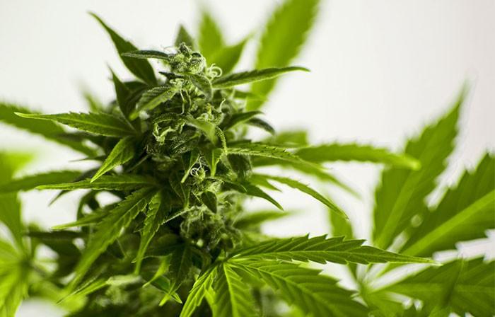 Semillas autoflorecientes de marihuana