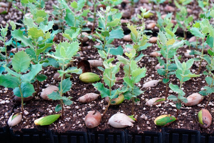 Semillero de forestales germinando