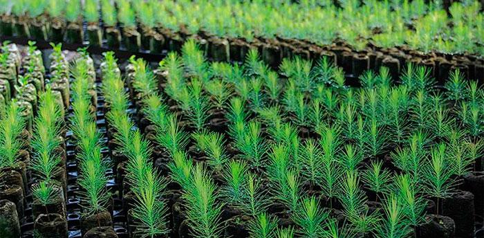 Semillero de pinos
