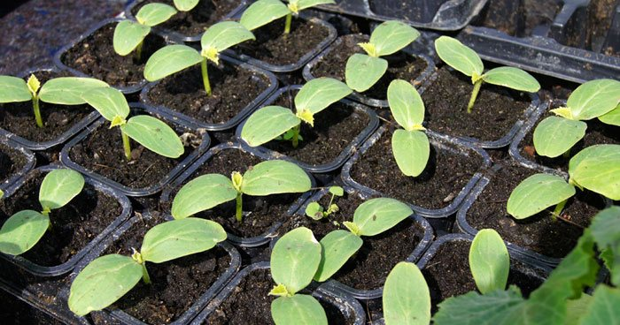 Semillero hortícola
