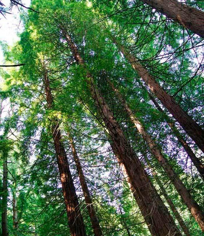 sequoia sempervirens 2