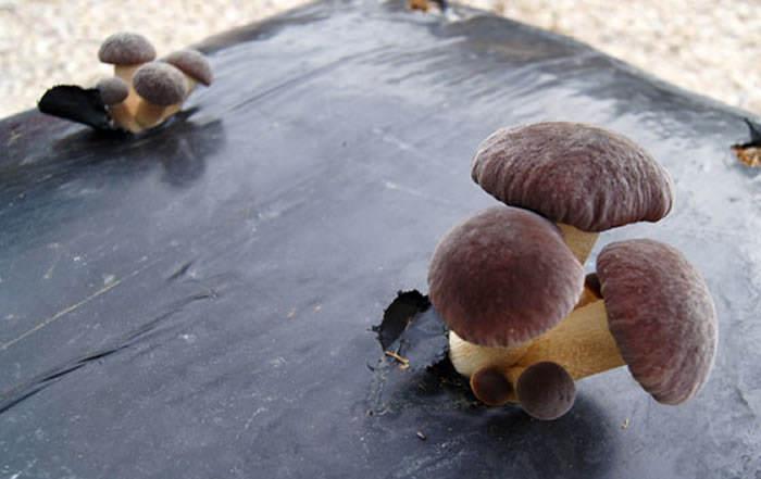 Setas de chopo pholiota aegerita