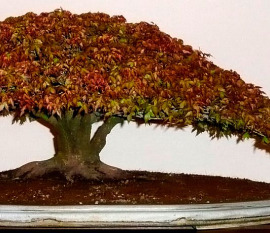Sustratos para bonsái