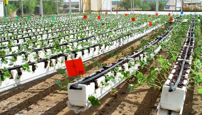 Sustrato para cultivo de fresa