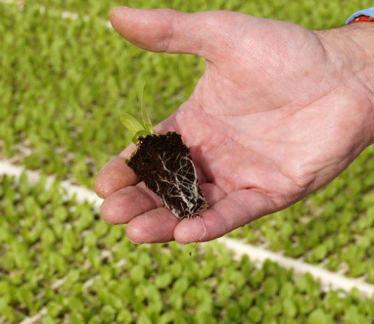 Sustratos para semilleros