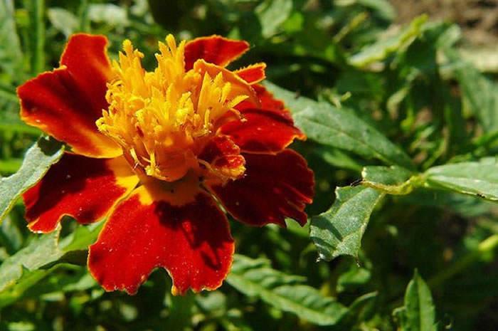 Flores de Tagete pátula