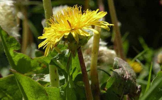 Plantas nuevas de Taraxacum