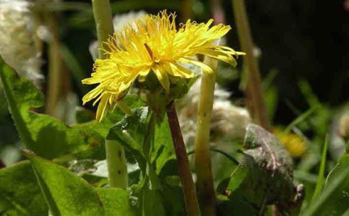 taraxacum plantas nuevas