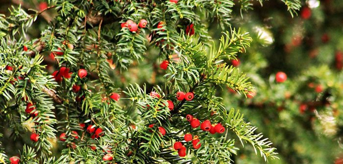 Taxus baccata silvestre
