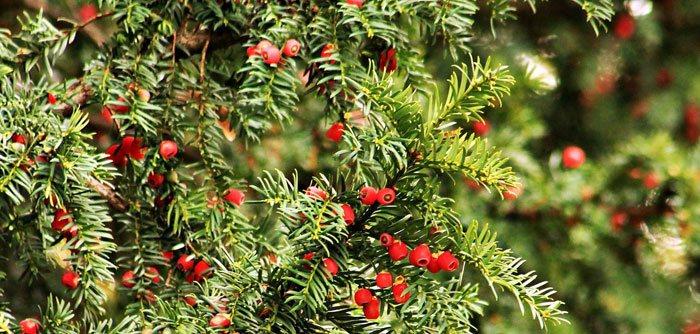 Taxus baccata silvestre