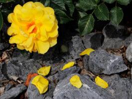 Tierra para rosales en jardín