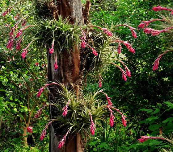 Tillandsias Revista De Flores Plantas Jardiner A